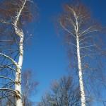 Tudi breze rastejo na Gorjancih