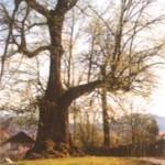 Stara turška lipa obseg: 625 cm